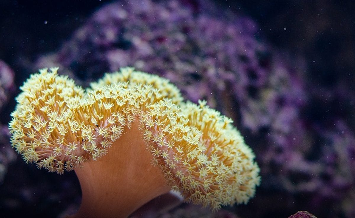 First coral reef in the Mediterranean discovered off the Apulian coast